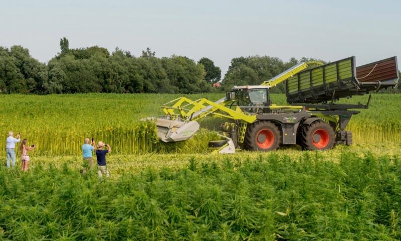 Hennepthee maken oogst in het hennepveld